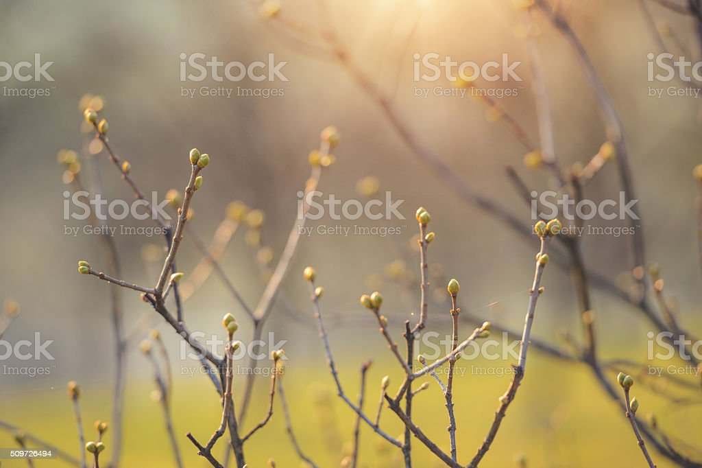 First spring bush bud stock photo