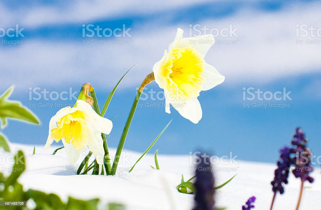 First spring Daffodil  flowers with snow against blue sky. stock photo