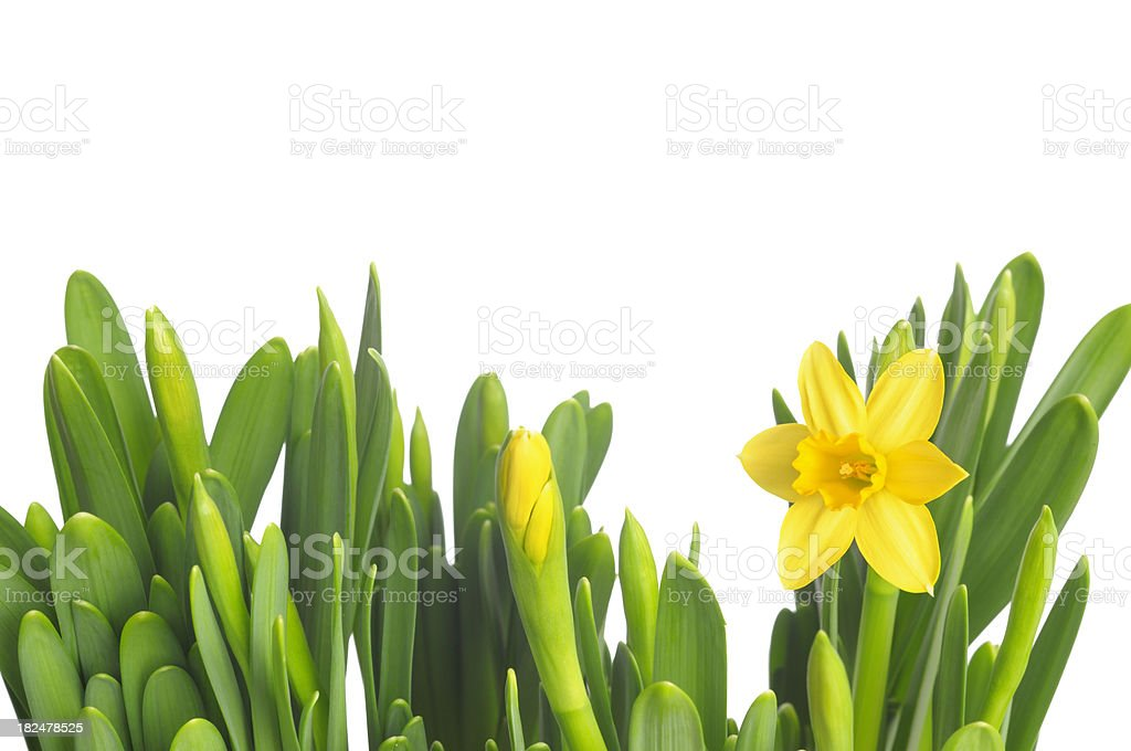 First spring flower royalty-free stock photo