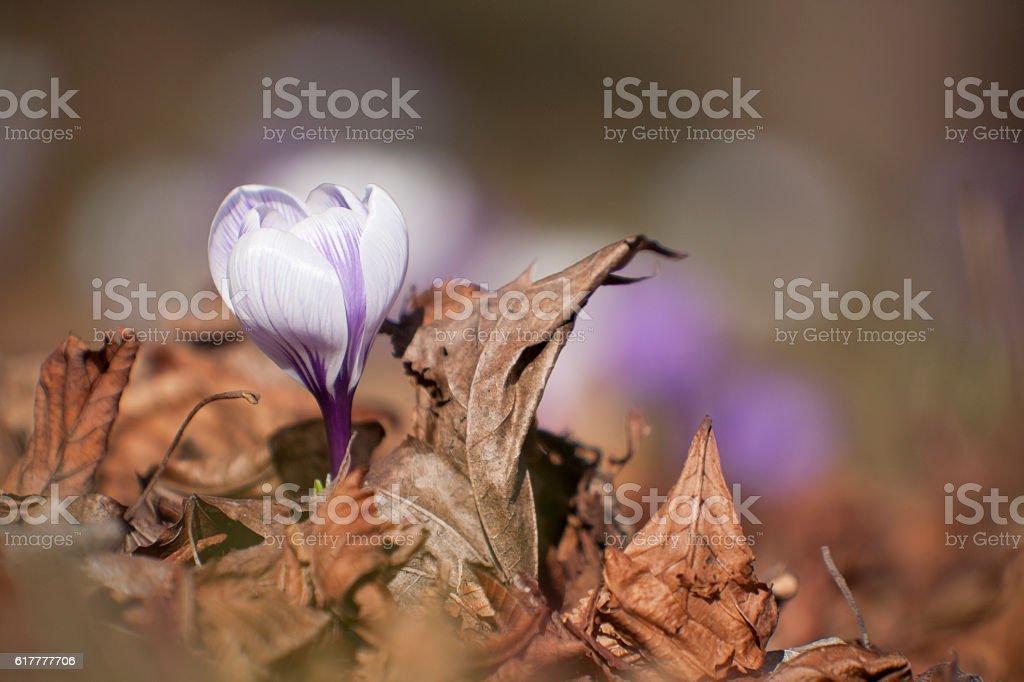 Ersten Frühling flower Lizenzfreies stock-foto