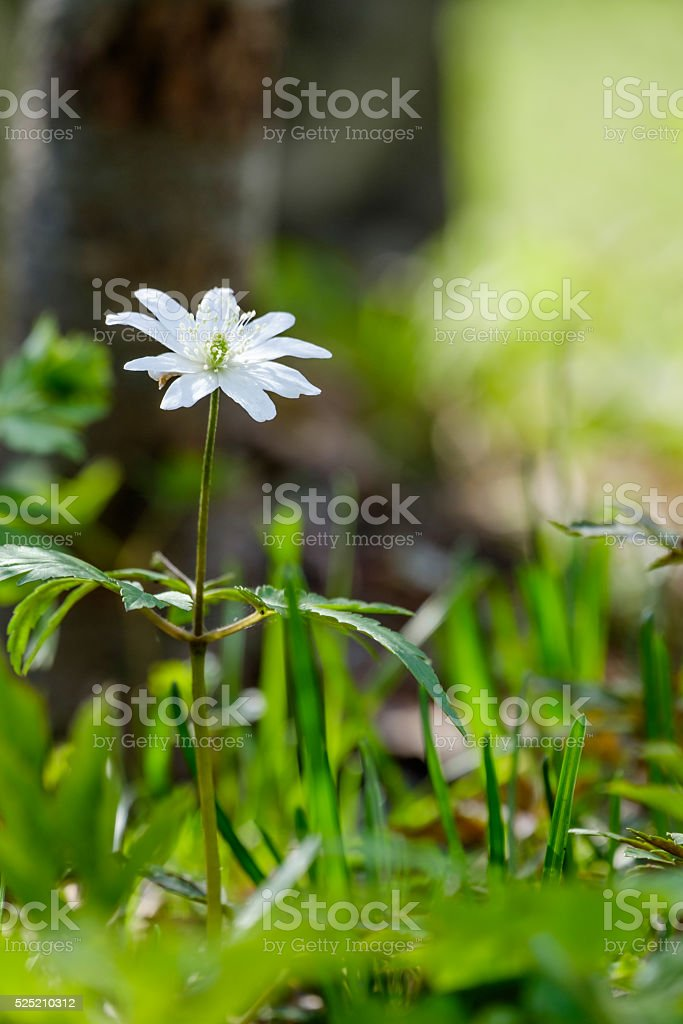 First spring flowers stock photo