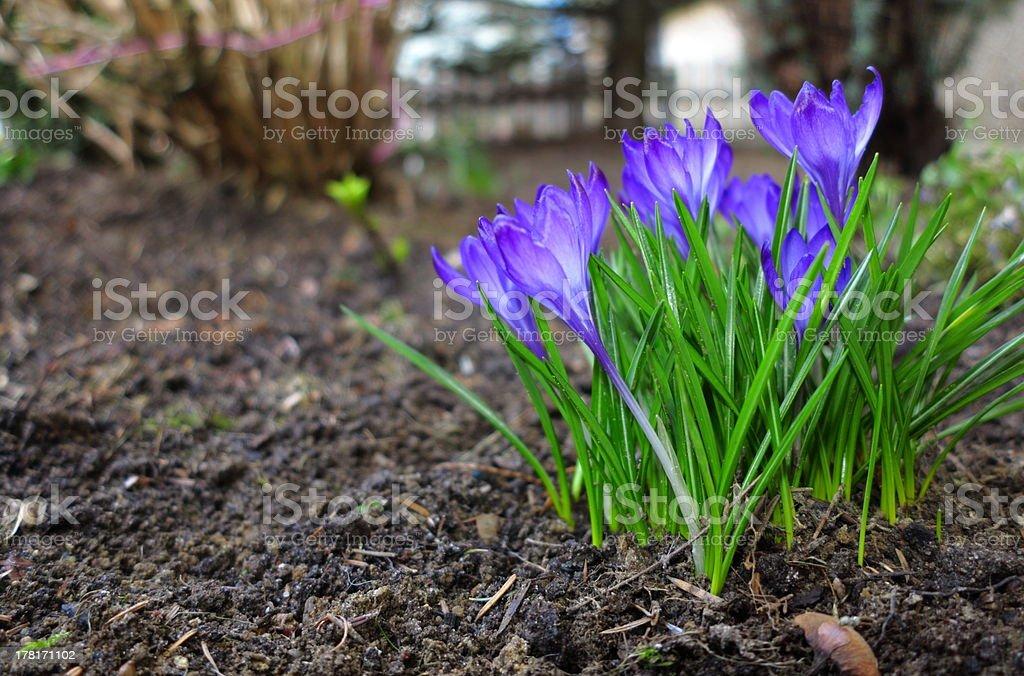 First spring flowers purple crocuses. royalty-free stock photo