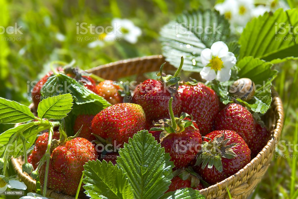 first strawberrys for gourmet royalty-free stock photo