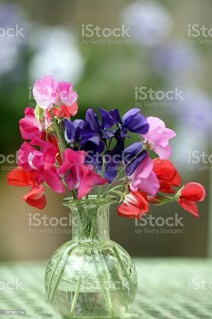 First sweet peas of the year stock photo