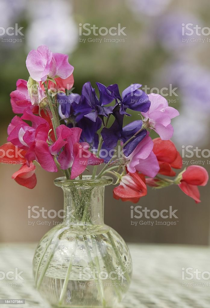 First sweet peas of the year royalty-free stock photo