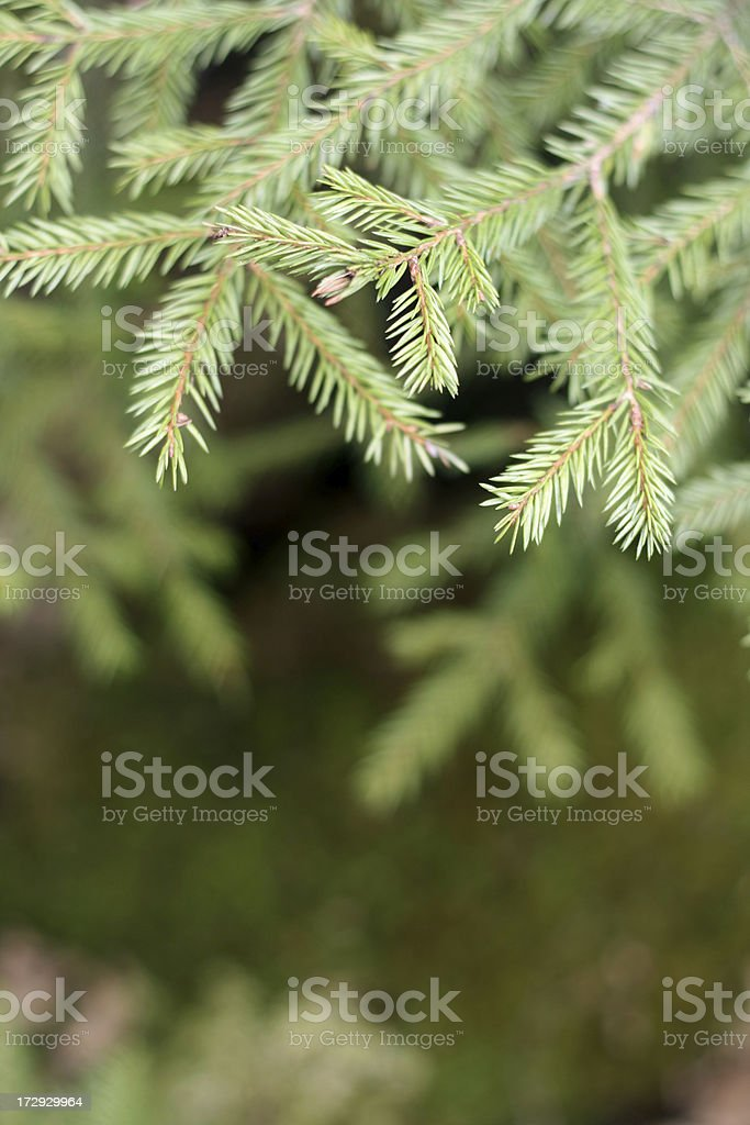 fir-tree branches royalty-free stock photo