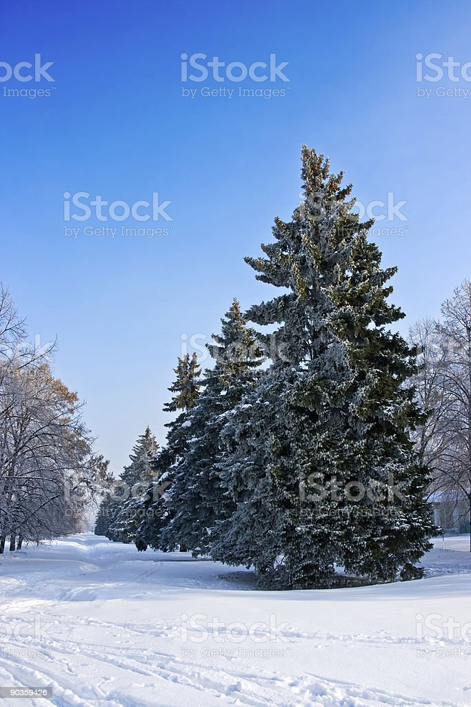 fir-tree covered by frost royalty-free stock photo