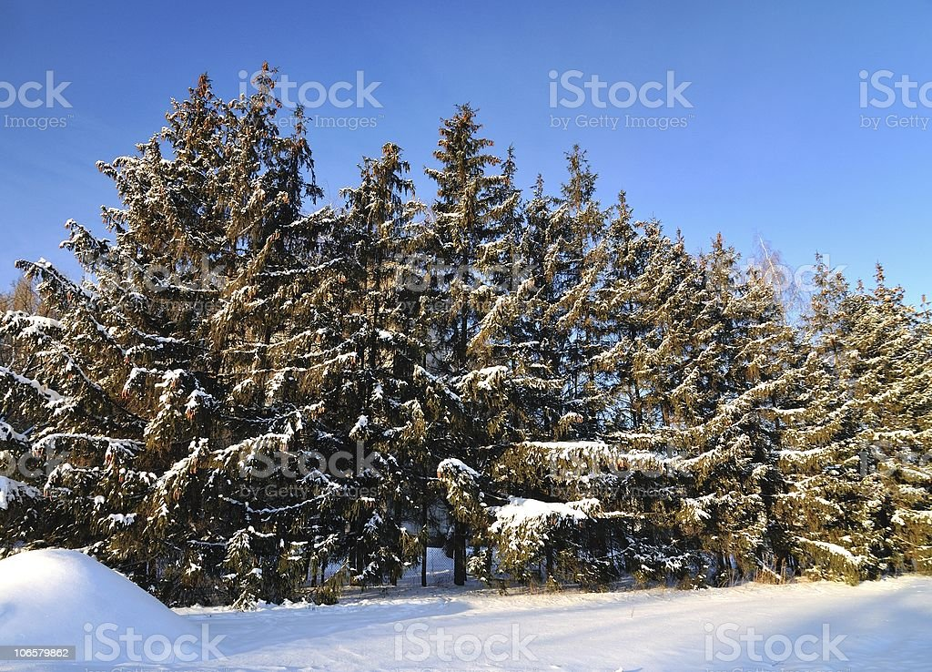 Firtree stock photo