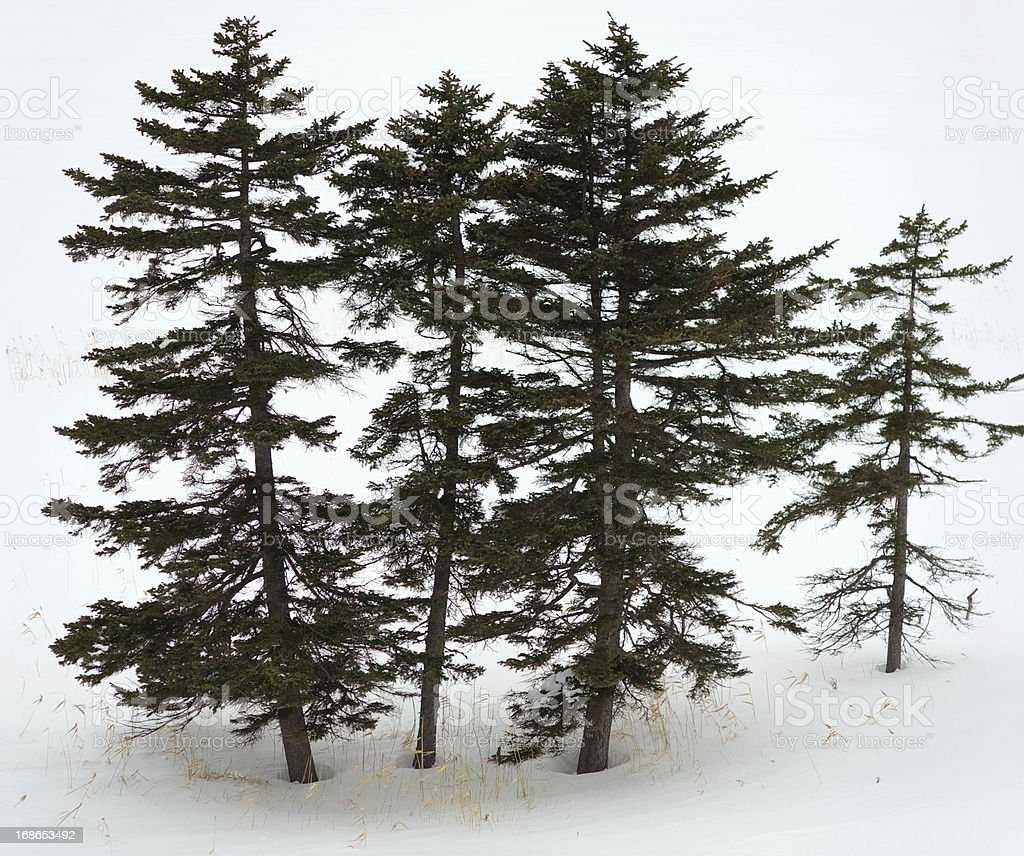 Fir-tree royalty-free stock photo