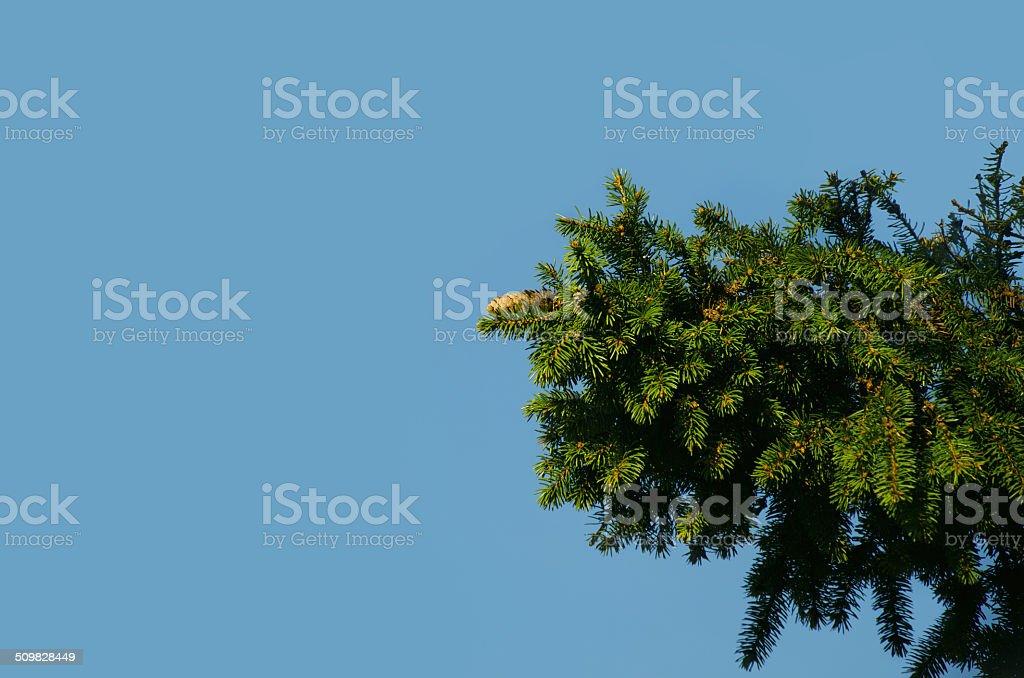 Abeto-Árvore foto de stock royalty-free