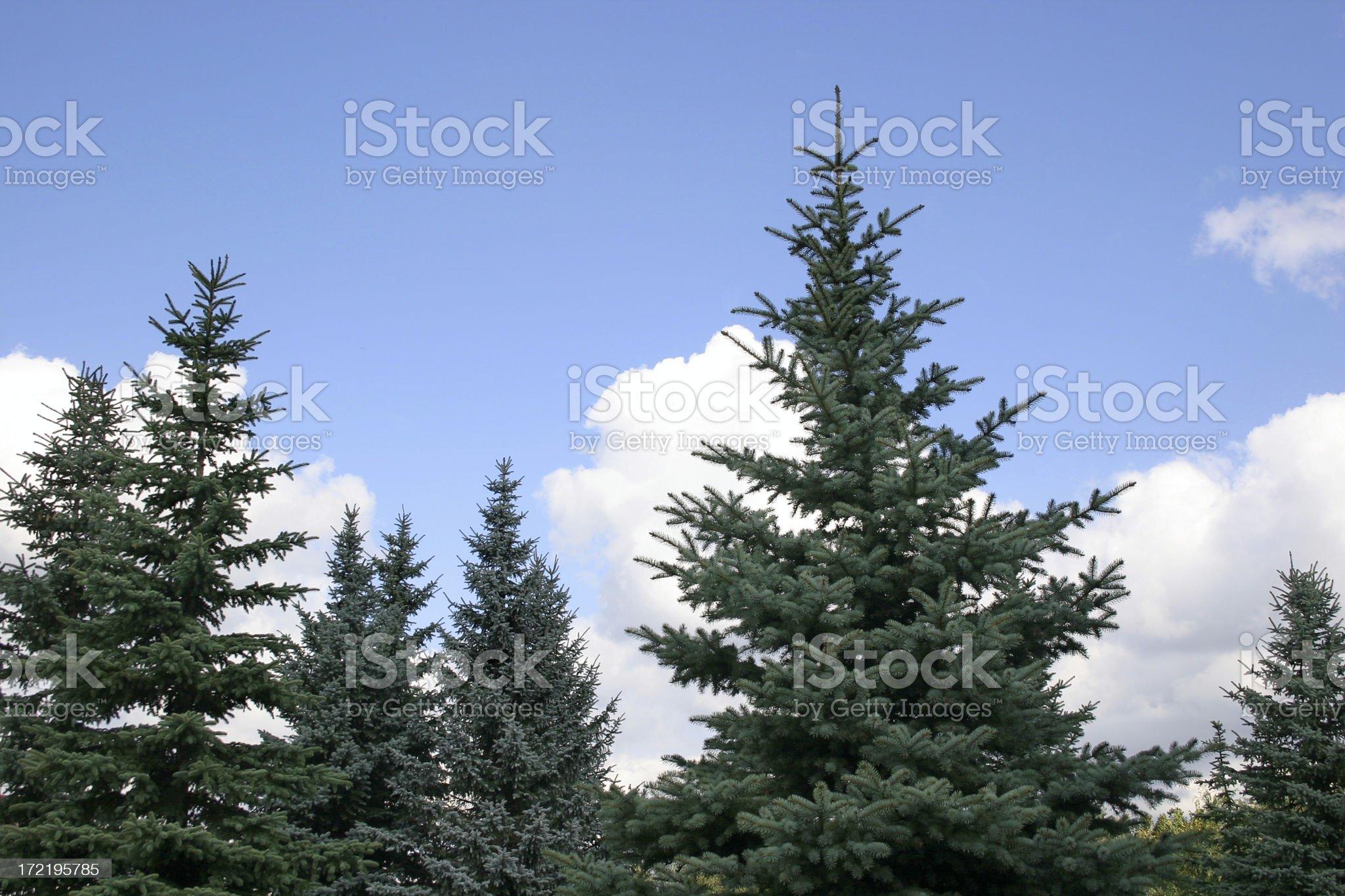 Fir-wood royalty-free stock photo