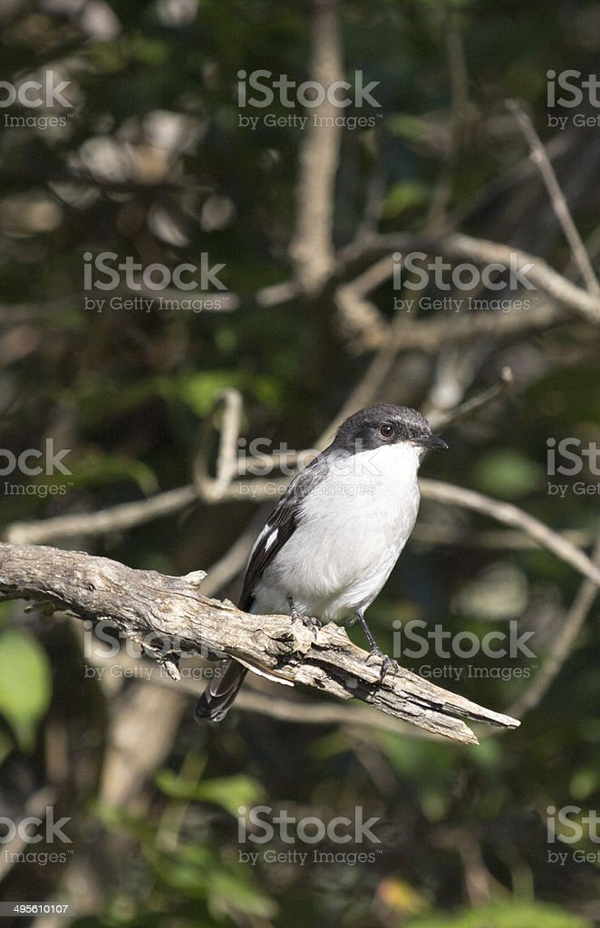 Fiscal Shrike in Royal Natal National Park, South Africa stock photo