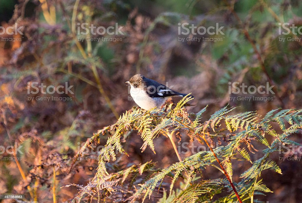 Fiscal Shrike in Royal Natal National Park, South Africa royalty-free stock photo