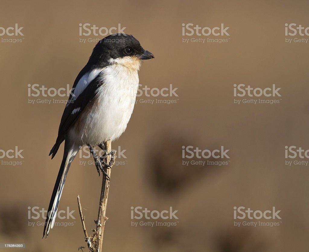 Fiscal Shrike with muddy beak stock photo