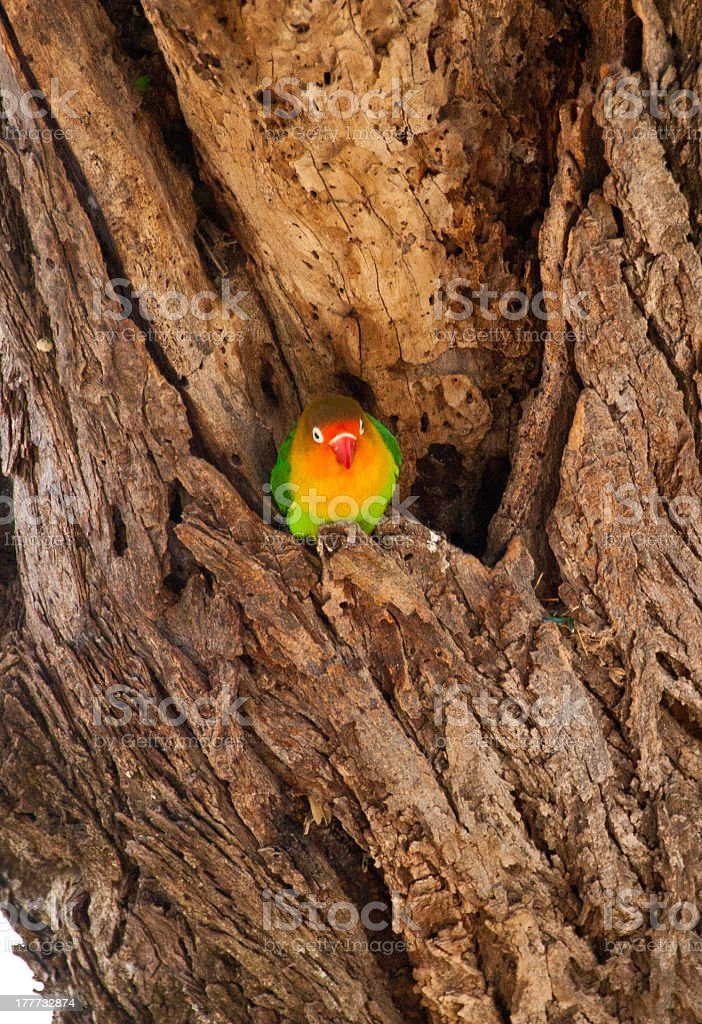Fischer's Lovebird stock photo