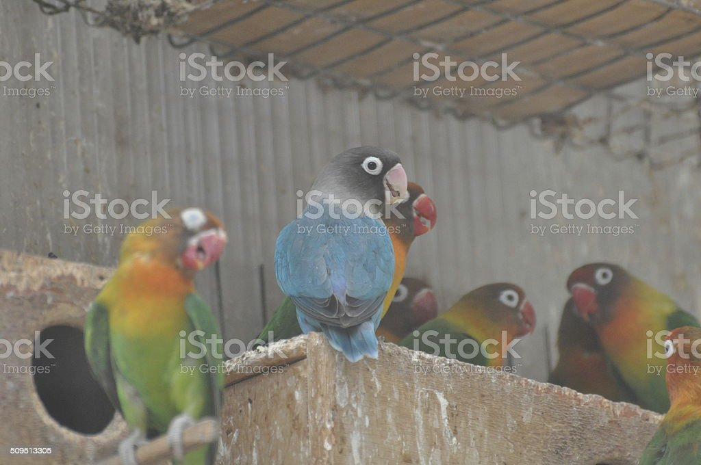 Fischer's Lovebirds stock photo