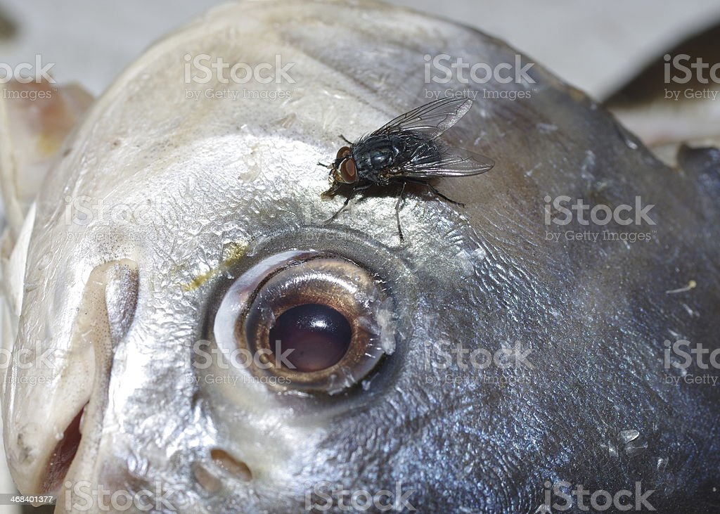 fish and fly royalty-free stock photo