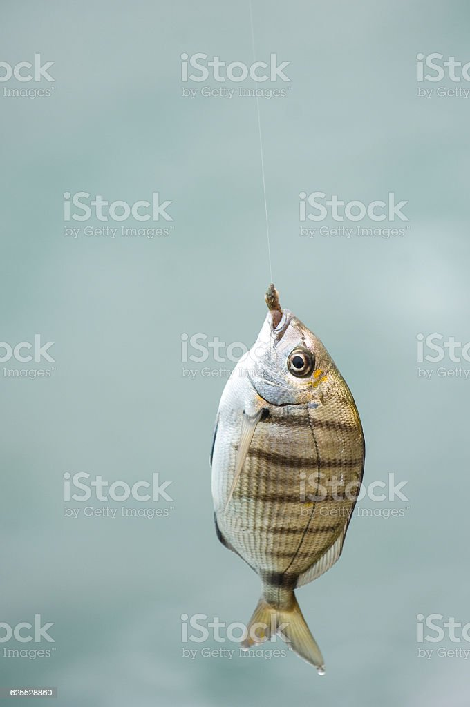Fish at the end of line of fisherman's cane stock photo