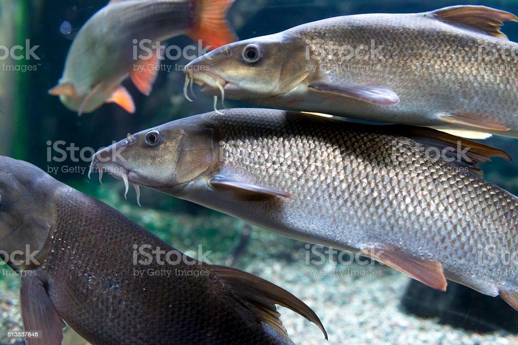 fish(common) barbel [Barbus barbus] stock photo