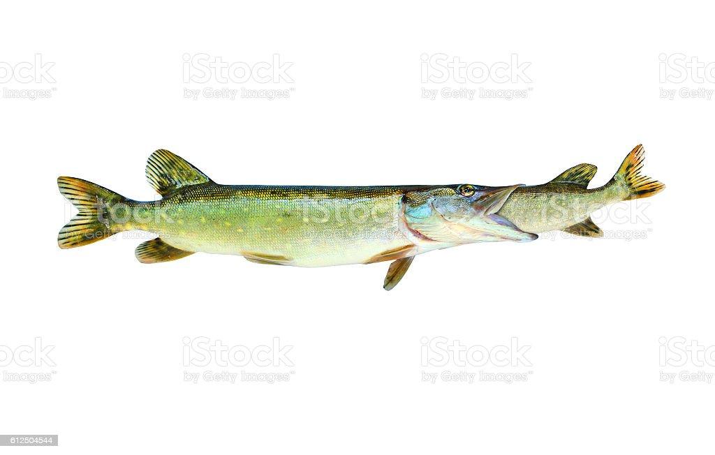 Fish catching fish. stock photo