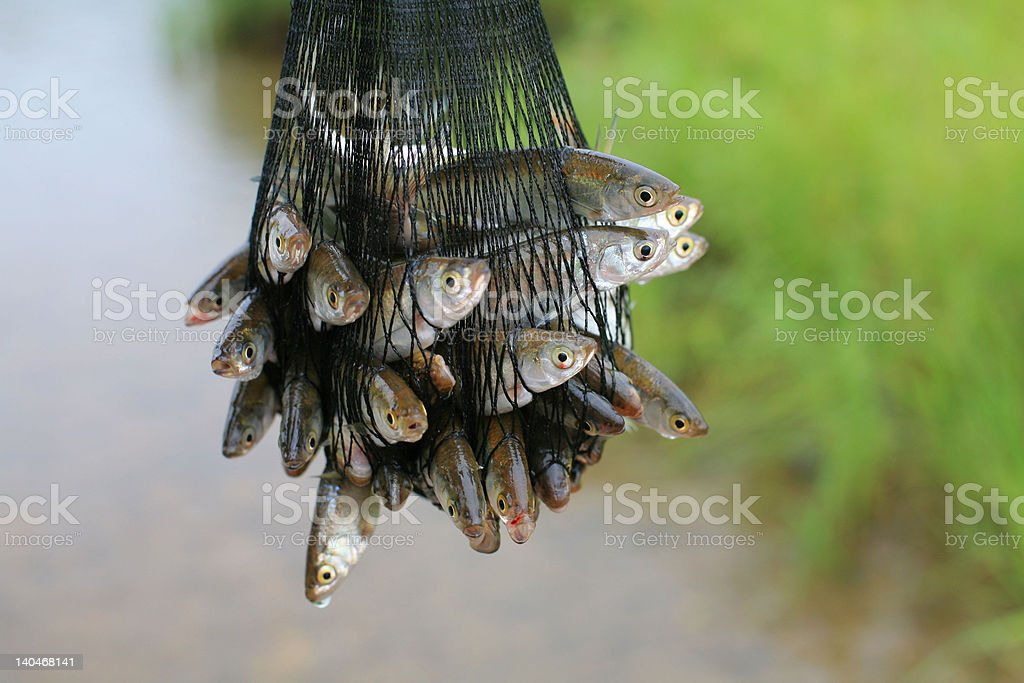 Fish caught in a net royalty-free stock photo