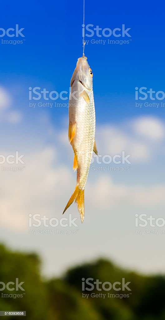Fish caught on a hook. hanging in the air stock photo
