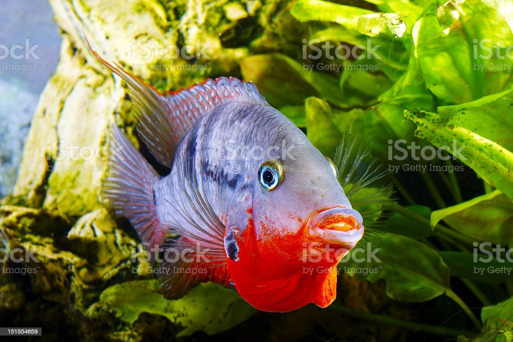 fish cichlasoma meeki stock photo