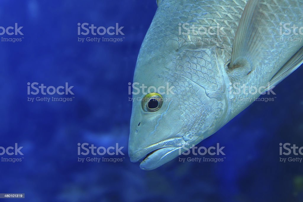 fish closeup royalty-free stock photo
