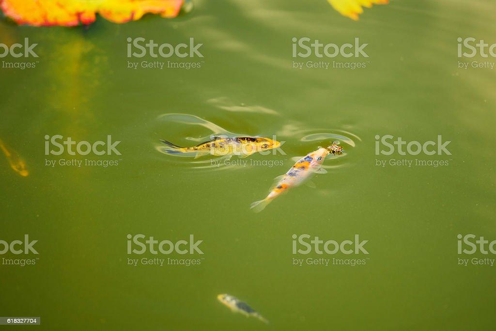 Fish coi carp stock photo
