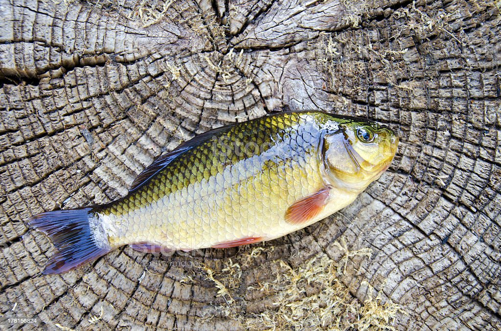 fish crucian on old wooden background royalty-free stock photo