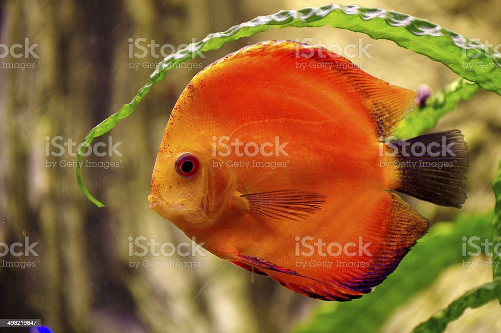 Fish Discus red royalty-free stock photo
