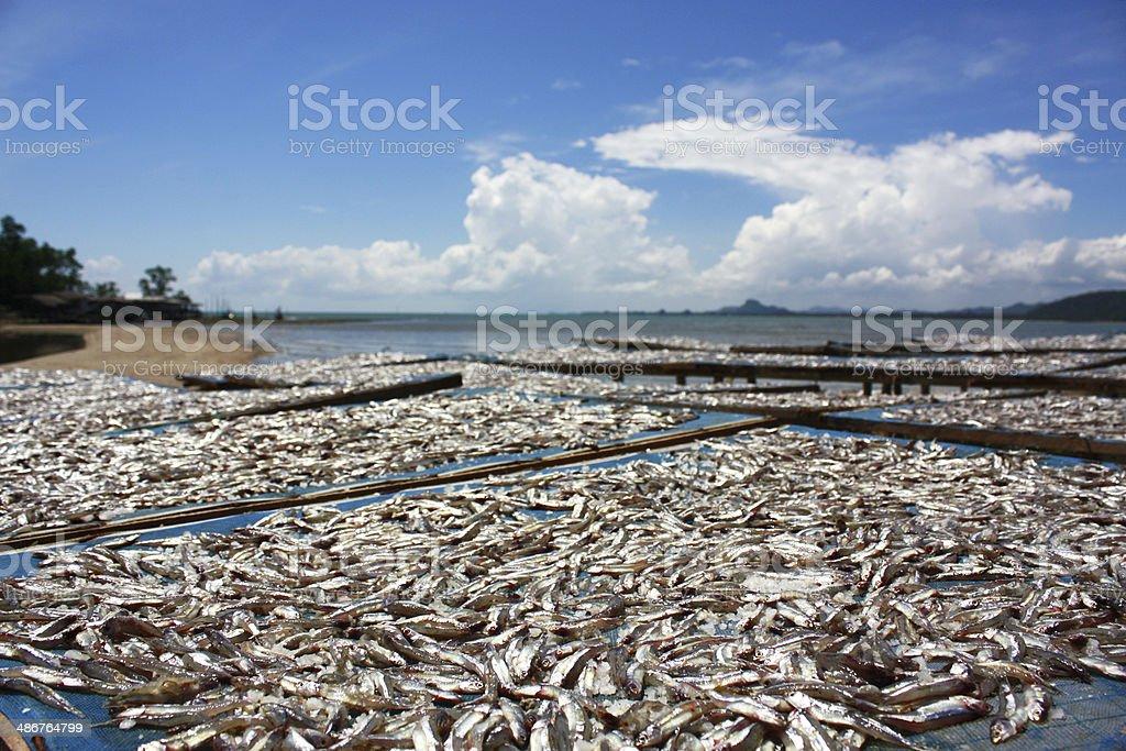 Pescado de secado foto de stock libre de derechos
