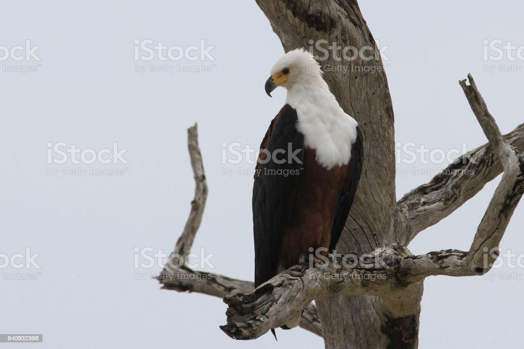 Fish eagle at Rufiji River, Tanzania stock photo