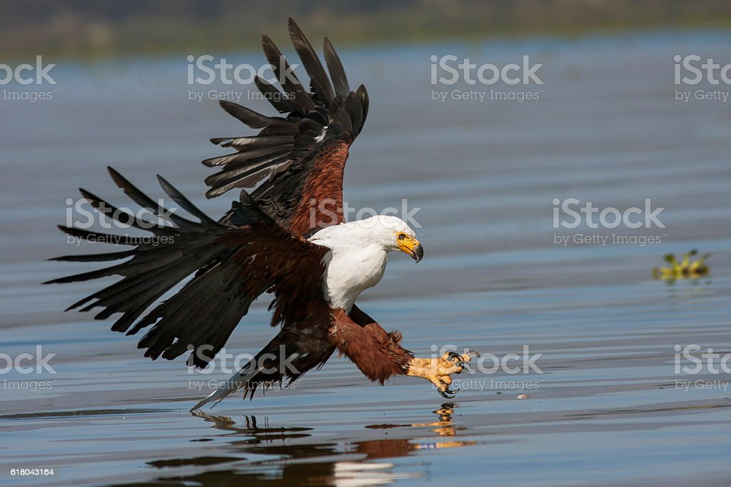 fish eagle at the last moment to attack prey stock photo