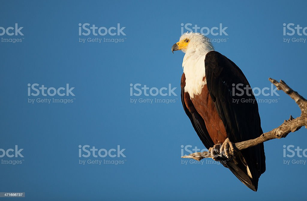 Fish Eagle on branch in sunshine royalty-free stock photo