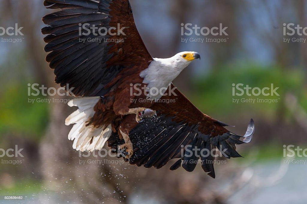 Fish Eagle stock photo