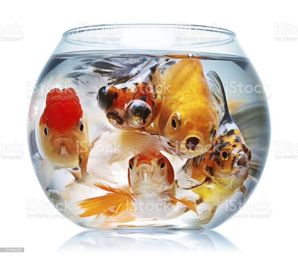 A fish eye view of five goldfish stuffed into glass bowl stock photo