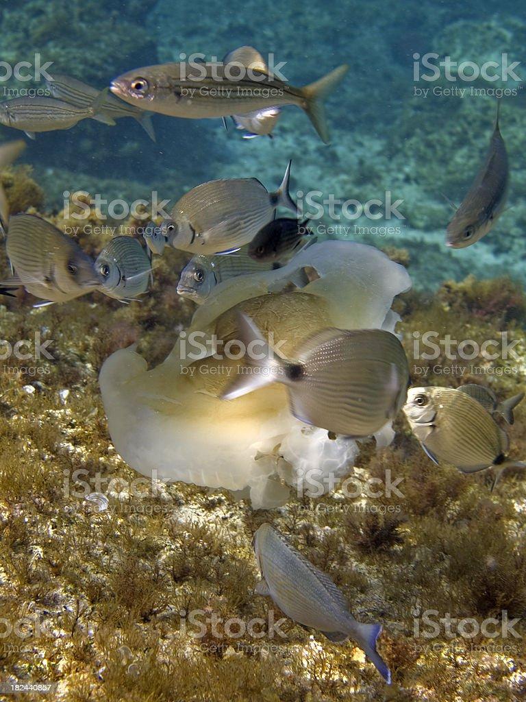fish feeding on a fried egg jellyfish royalty-free stock photo