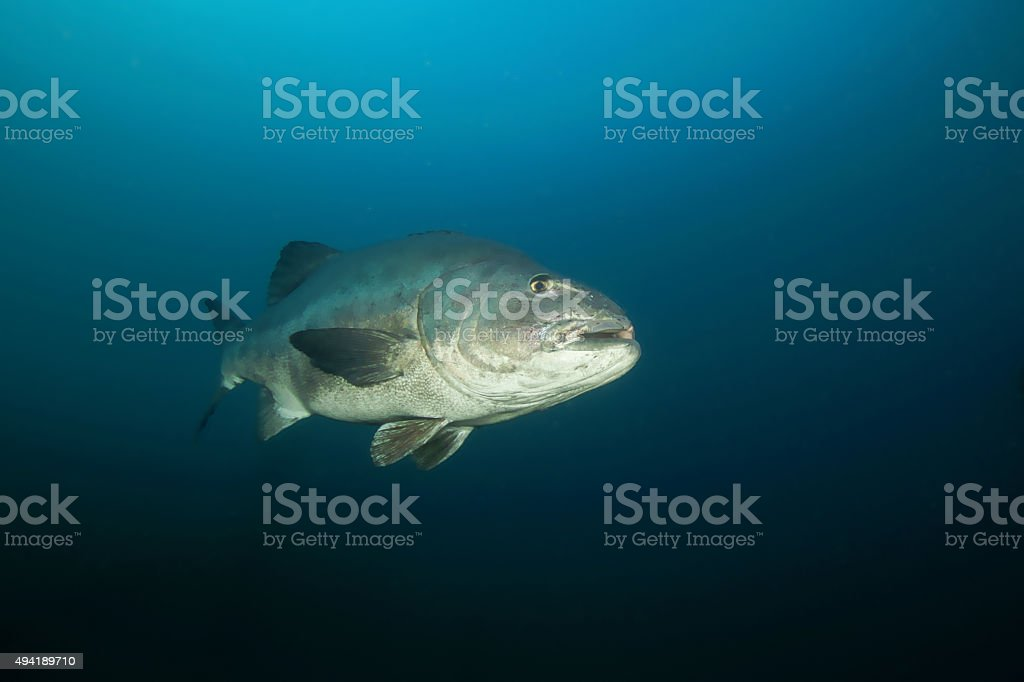 Fish Giant Black Sea Bass stock photo
