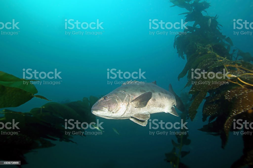 Fish Giant Black Sea Bass underwater reef stock photo