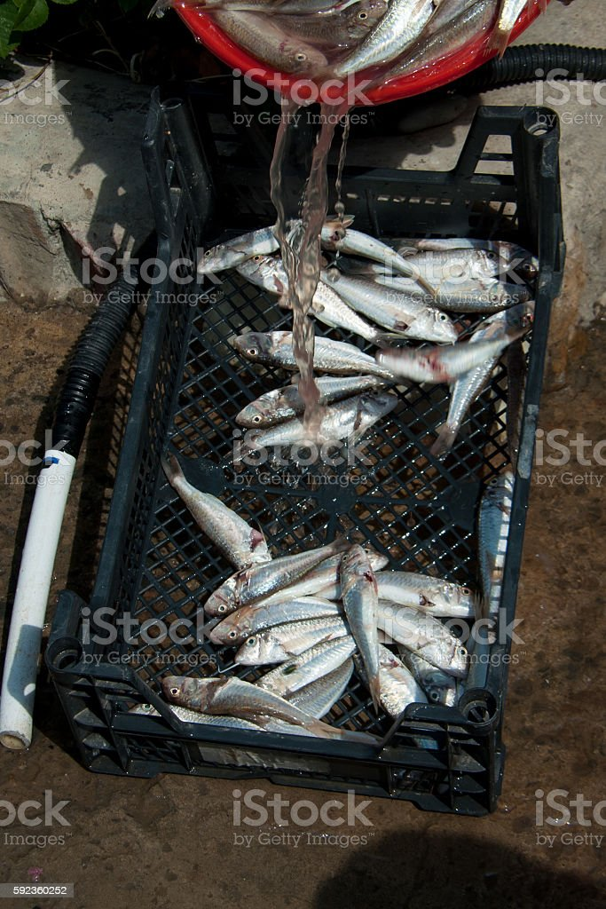 fish goatfish is in black the reticular box stock photo