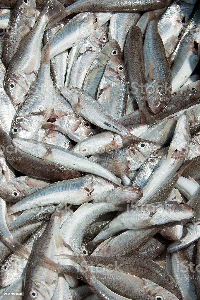 fish goatfish large number stock photo