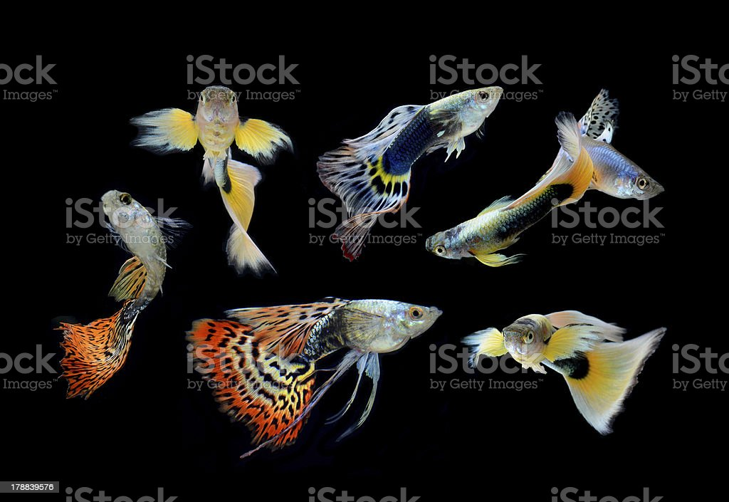 fish guppy pet isolated on black background royalty-free stock photo