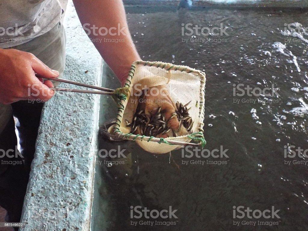 Fish hatchery baby fish stock photo