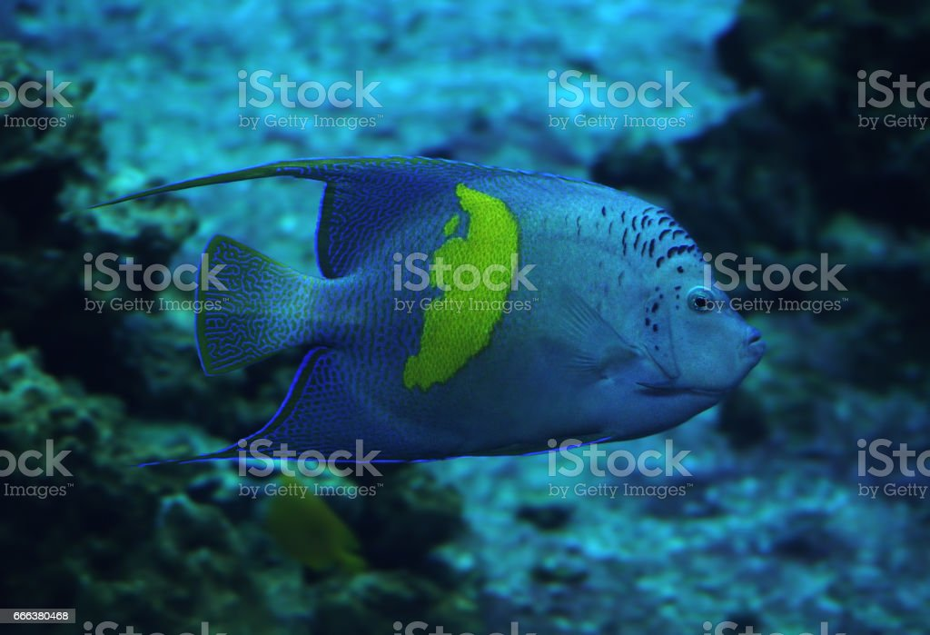 Fish Heniochus acuminatus at deep blue ocean stock photo
