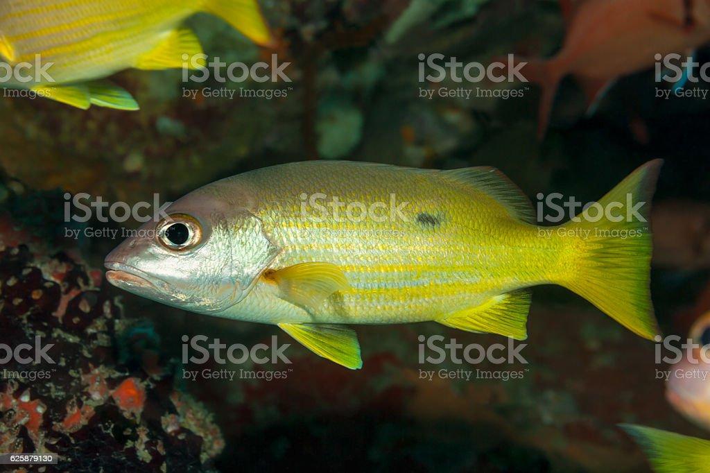 Fish in a Cave, One-spot Snapper Lutjanus Monostigma, Praslin, Seychelles. stock photo
