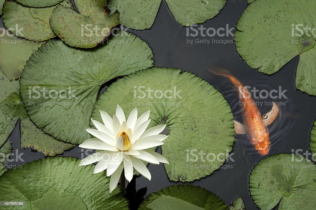 Fish in a Lotus pond stock photo