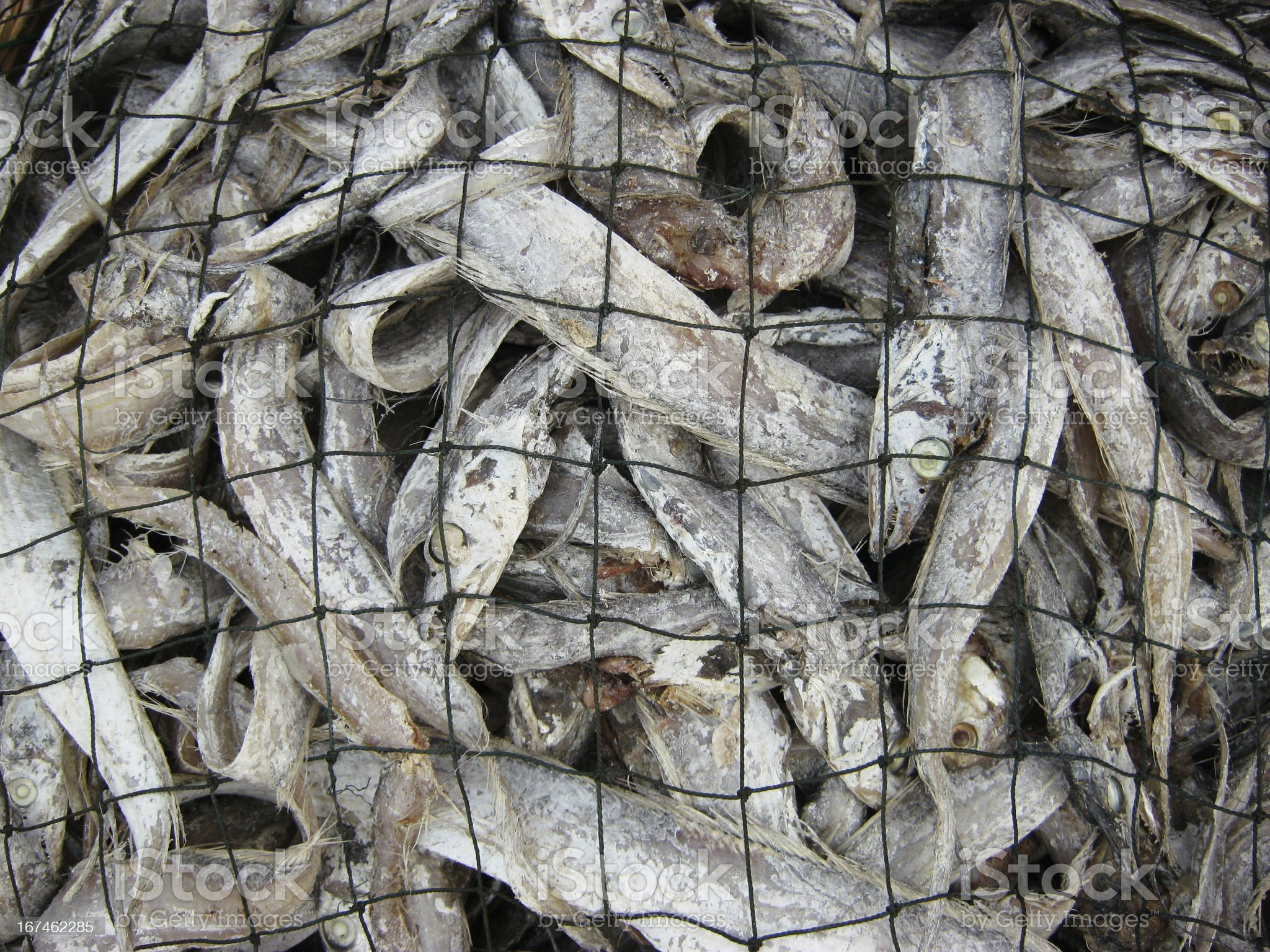 fish in net royalty-free stock photo