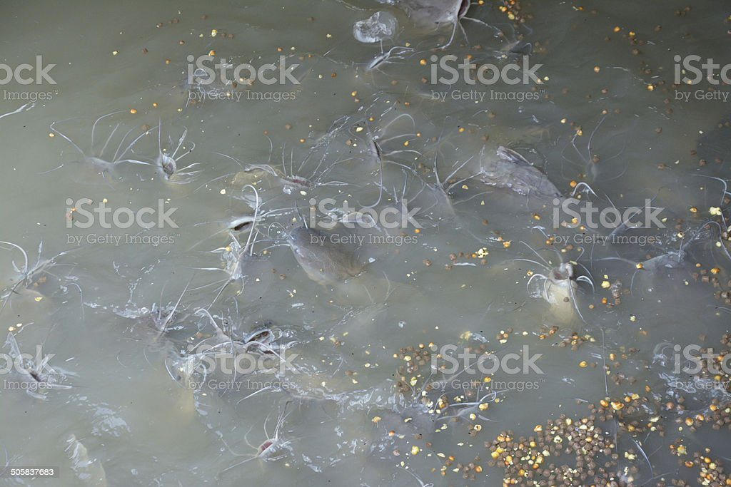 fish in water eating food stock photo