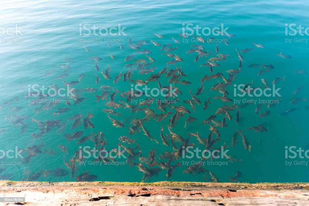 fish in water stock photo